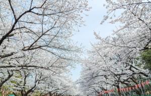 --www.pakutaso.com-shared-img-thumb-JS721_uenonosakura